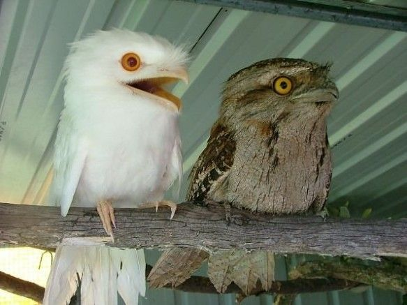Tawny Frogmouths: The Lazy Skunks of the Skies