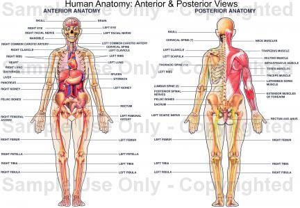 Human anatomy | Health and Holistic Natural Remedies | Pinterest ...