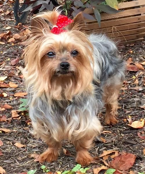 yorkie rescues yorkshire terrier and toy dog rescue wow blog 8170