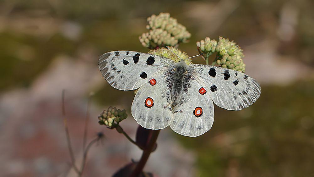 Suomen Perhoset Kuvina