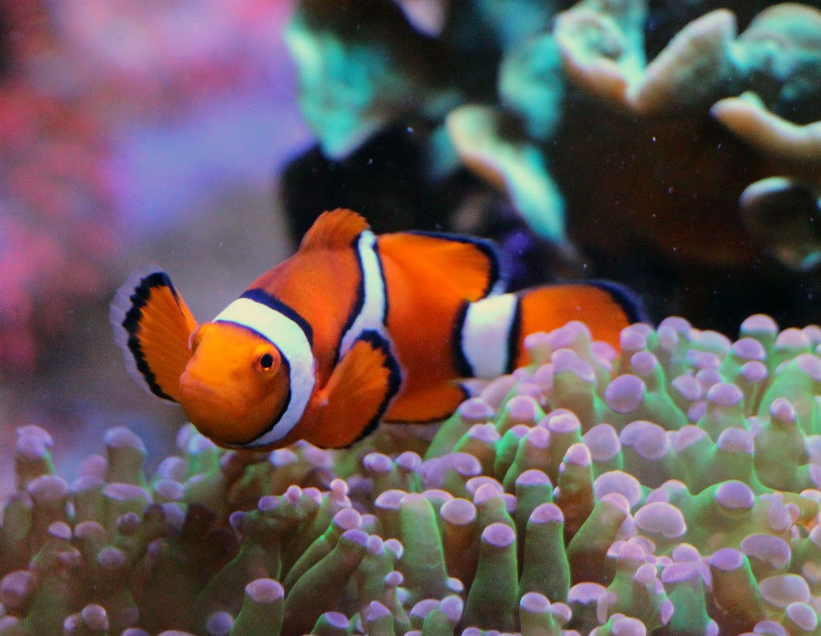 long tail clownfish google search clown fish