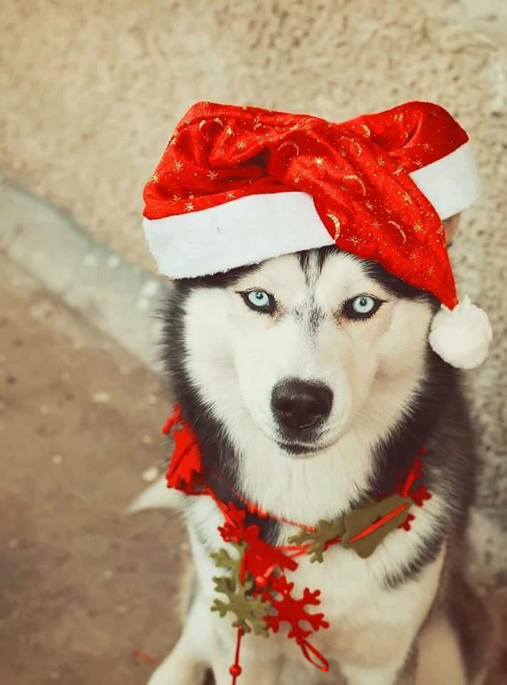Merry Huskmas Christmas Dog Photography Christmas Dog Husky Lover