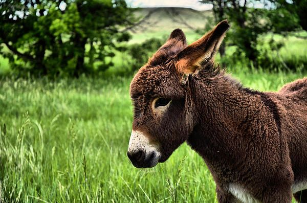 Donkey Wallpapers Hd