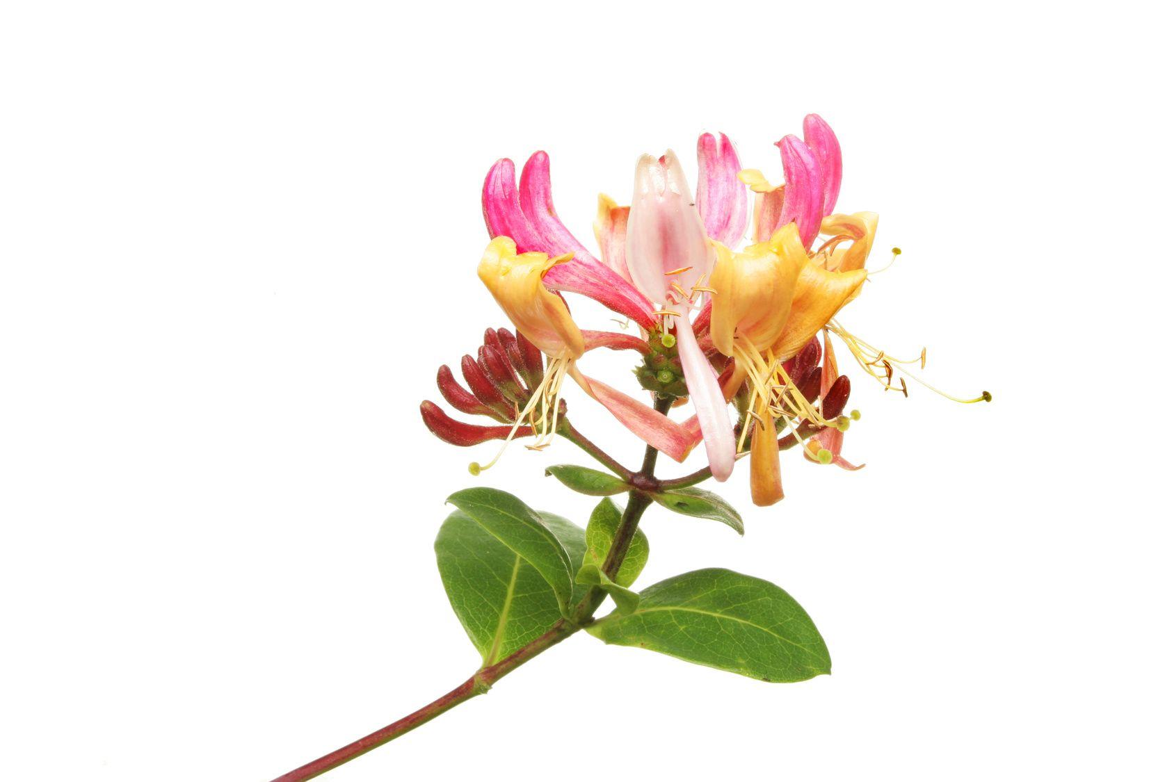 Lonicera Japonica Honeysuckle Flower Honeysuckle Flower Fragrance Oil Fragrance
