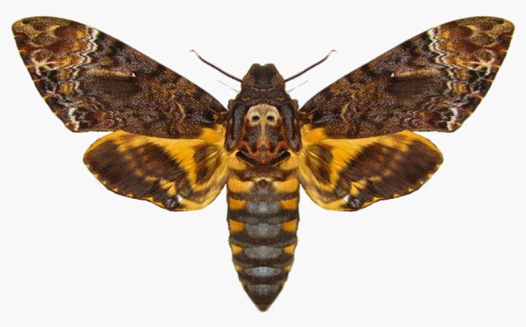 Motte Tattoo Bedeutung Des Motivs Und Einige Der Schonsten Mottenarten Symbole Hindi Sanskrit Tattooideen Frauen Buddhi Deaths Head Moth Hawk Moth Moth