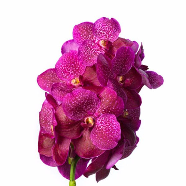 Pin By Uncloudy Studio On Loreal 11072019 Vanda Orchids Orchids Beautiful Orchids