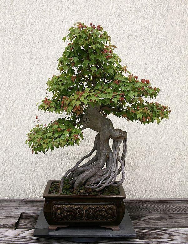 Acer buergerianum zimmerpflanzen wintergarten - Japanische zimmerpflanzen ...