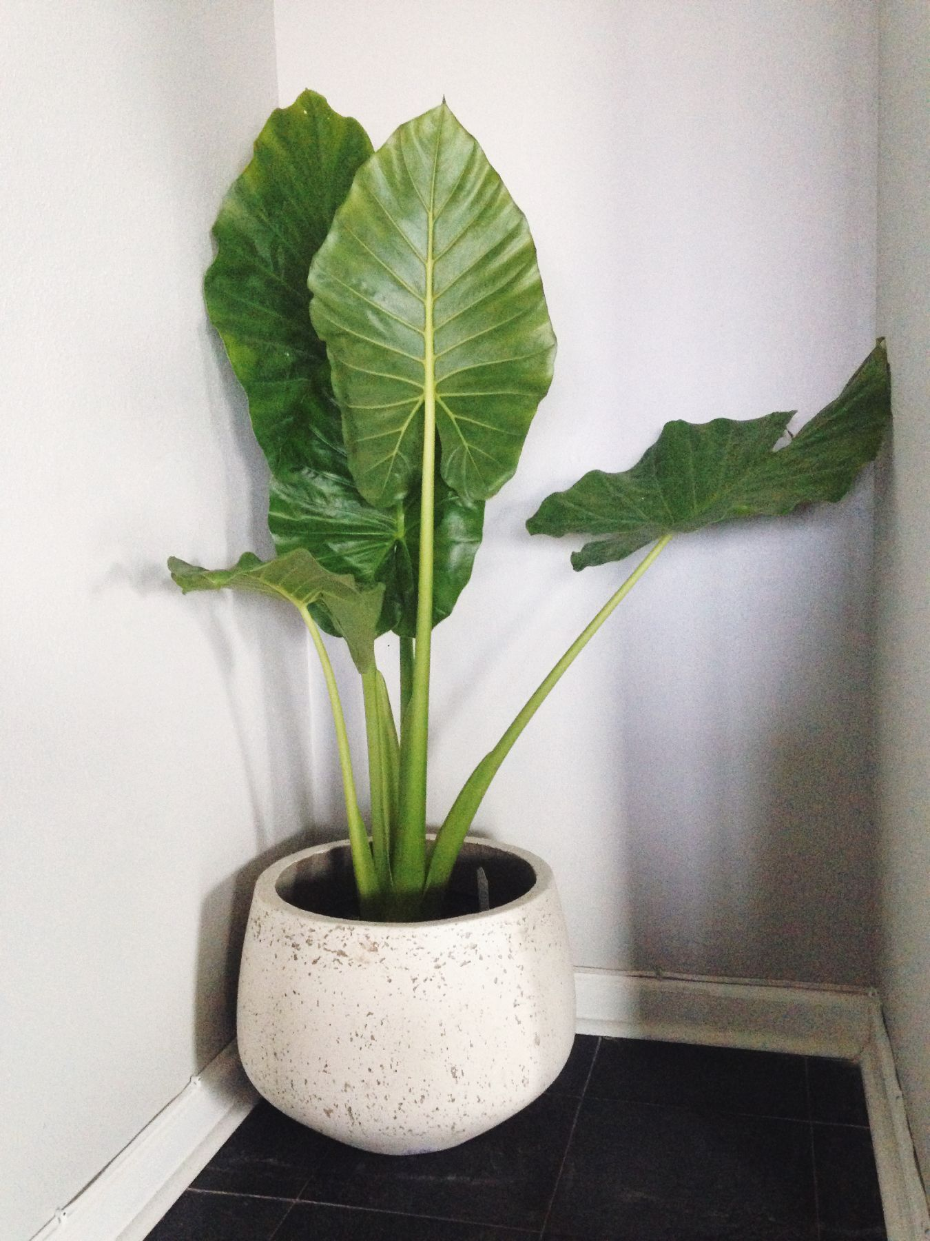 alocasia calidora or better known as elephant ears is a beautiful indoor plant its majesty is. Black Bedroom Furniture Sets. Home Design Ideas