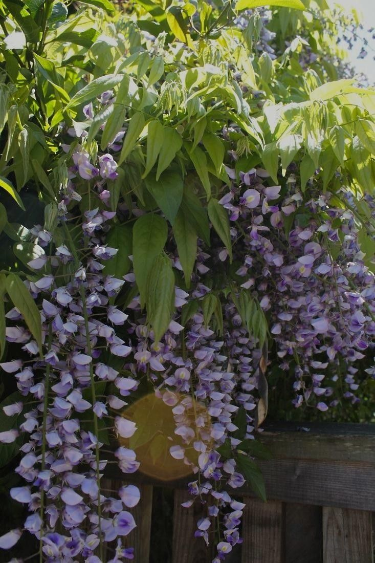 The charms of wisteria are almost impossible to resist. Lounging languorously over a fence or pergola, she will beckon to you with her heady perfume. But be warned.  Wisteria has a mind of her own.