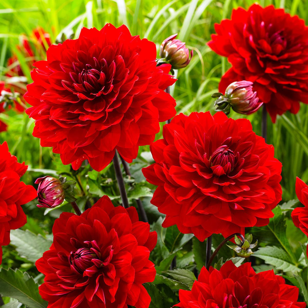 Schmuckdahlie Karma Amora Online Kaufen Bei Gartner Potschke Dahlia Flowers Rock Garden