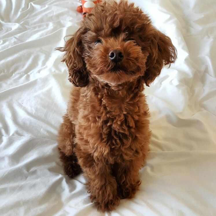 Cavapoo Puppies For Sale Western Cape South Africa