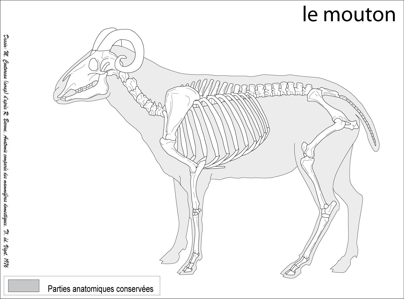 Ovis aries, domestic sheep | Bones | Animal drawings