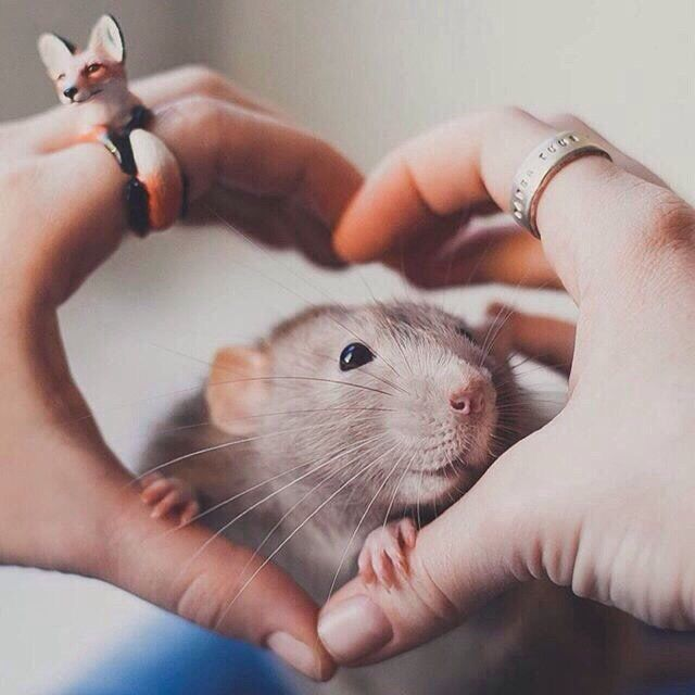 Симпатичные крысята картинки