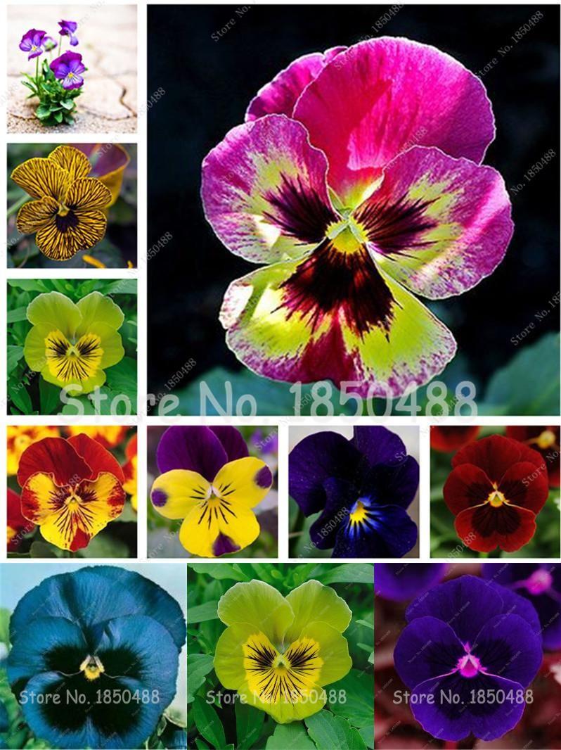 Visit To Buy 200 Seeds Pack Pansy Viola Cornuta Seeds Indoor Flower Seeds In Bonsai Mini Flower Seeds Home Garden Plants Flowe Indoor Flowers Flower Seeds Planting Flowers