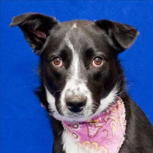 Adopt Socks! She's a 1yearold Border Collie looking for