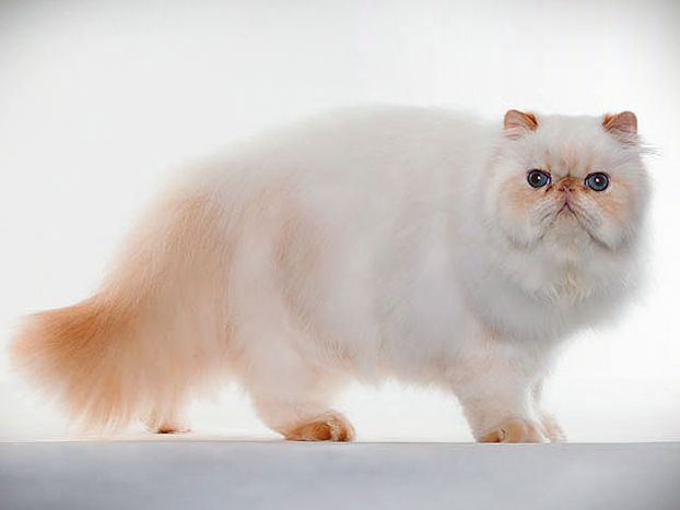 Cat Breed Photo Gallery Himalayan cat, Cat breeds, Cats