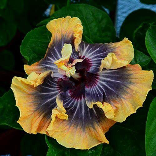 Hibiscus Flower Hibisco Flores De Hibisco Suculentas Coloridas