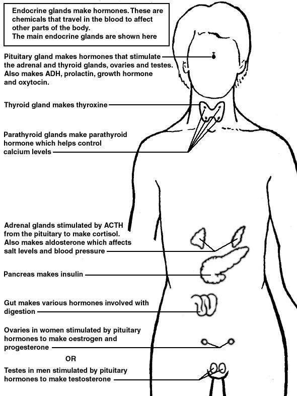 endocrine system diagram autostrada cruise control wiring biology diagrams pinterest