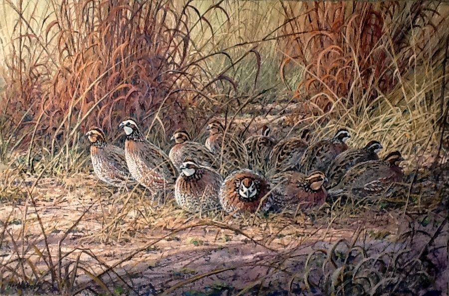Bobwhite quail covey - photo#6