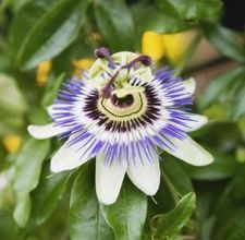 How To Make A Tincture Out Of Passion Flower Ehow Passion Flower Herb Passion Flower Passion Vine