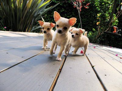 Stop Me Triplet Chihuahuas Aren T They Cute Sent In By
