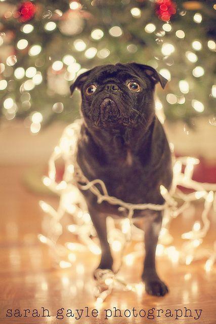 Holiday Pug - Fa La La La Laaaa by yoursournotes, via Flickr