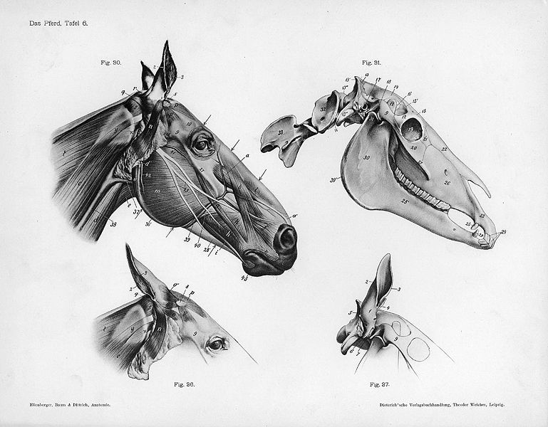 horse head anatomy OBSESSED WITH ANATOMY PICS! | Earth | Pinterest ...