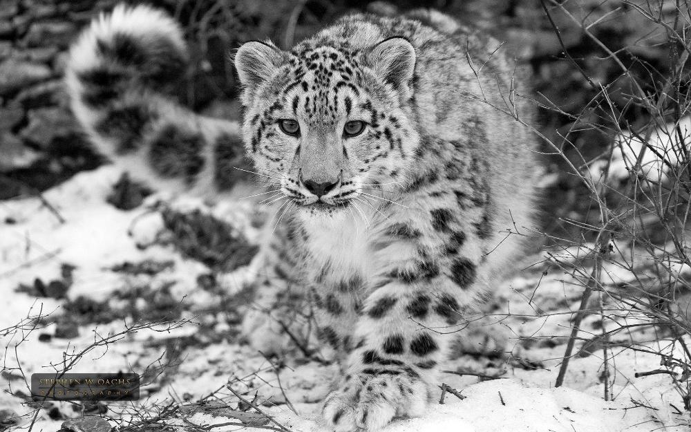 13 Snow Leopard Wallpaper Hd Gif Allwallpaper Snow Leopard Wallpaper Leopard Wallpaper Snow Leopard