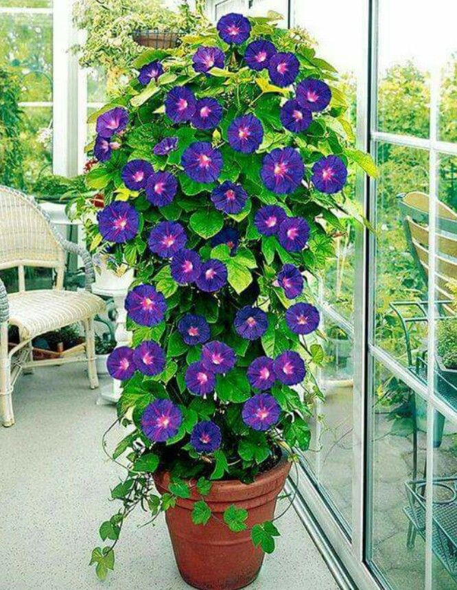Tip Use A Tomato Cage For An Impressive Morning Glory Display Might Help Coax My Clematis To My Ladder Too Flower Seeds Garden Vines Flower Pots