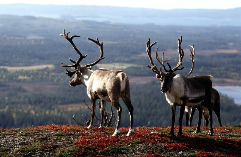Reindeers in the fall season in Lapland