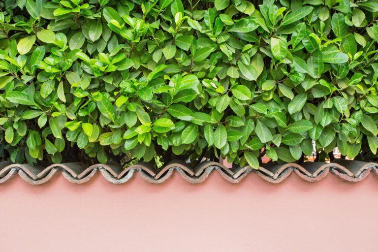 Pflanzen Als Sichtschutz Unsere Top 15 Fur Garten Balkon Mit Bildern Pflanzen Garten Hecke Pflanzen