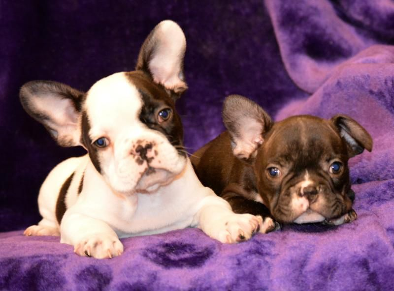Striking French Bulldog Puppies Pedigree Puppies For Sale