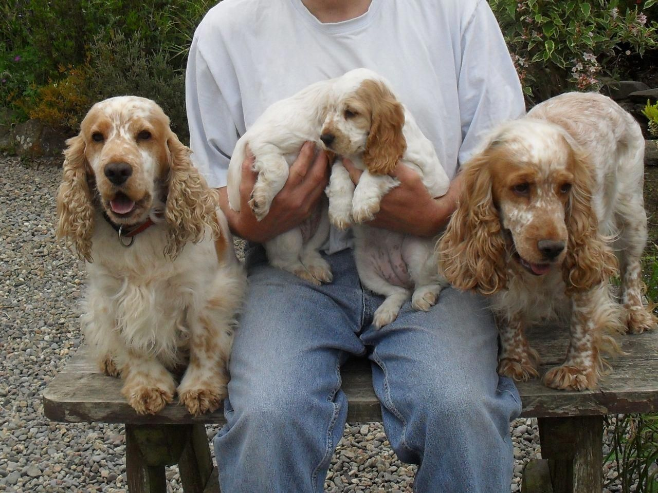 Ship From Gfp Shipping Puppies Greenfield Puppies Spaniel Puppies Cocker Spaniel Puppies English Cocker Spaniel Puppies