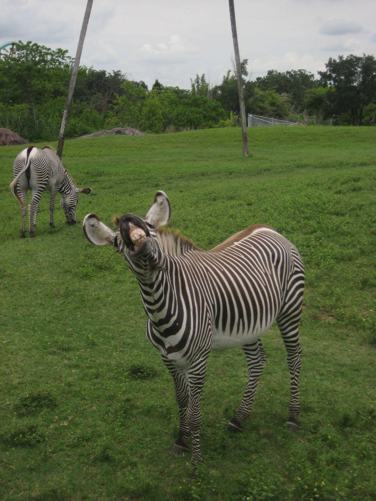 crazy zebra | Zebra crazy Grandma | Pinterest