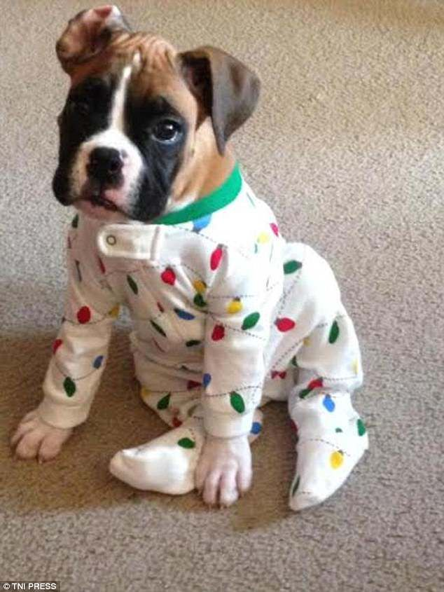 These Pictures Of Puppies In Pyjamas Will Make Your Day Boxer Dogs Boxer Puppies Boxer Puppy