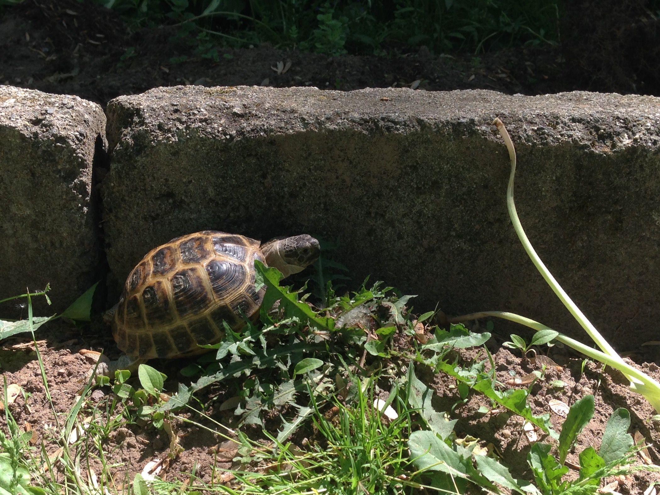 Fester strolling along the rock wall tortoise n turtles