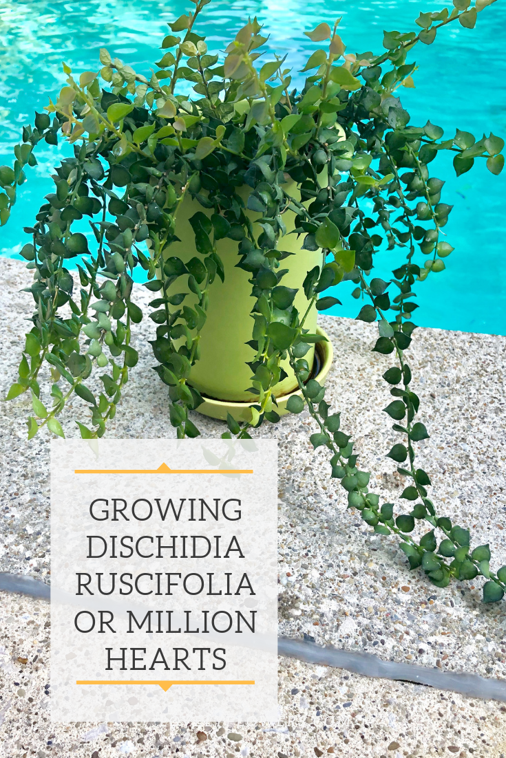 How To Grow The Beautiful Million Hearts Plant Or Dischidia Ruscifolia Everything From The Proper Potting Mix To Plants Propagating Plants Indoor Plant Care
