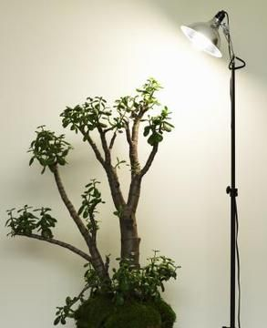 How To Repot A Jade Plant In Perlite Jade Plants Jade Bonsai Money Tree Plant