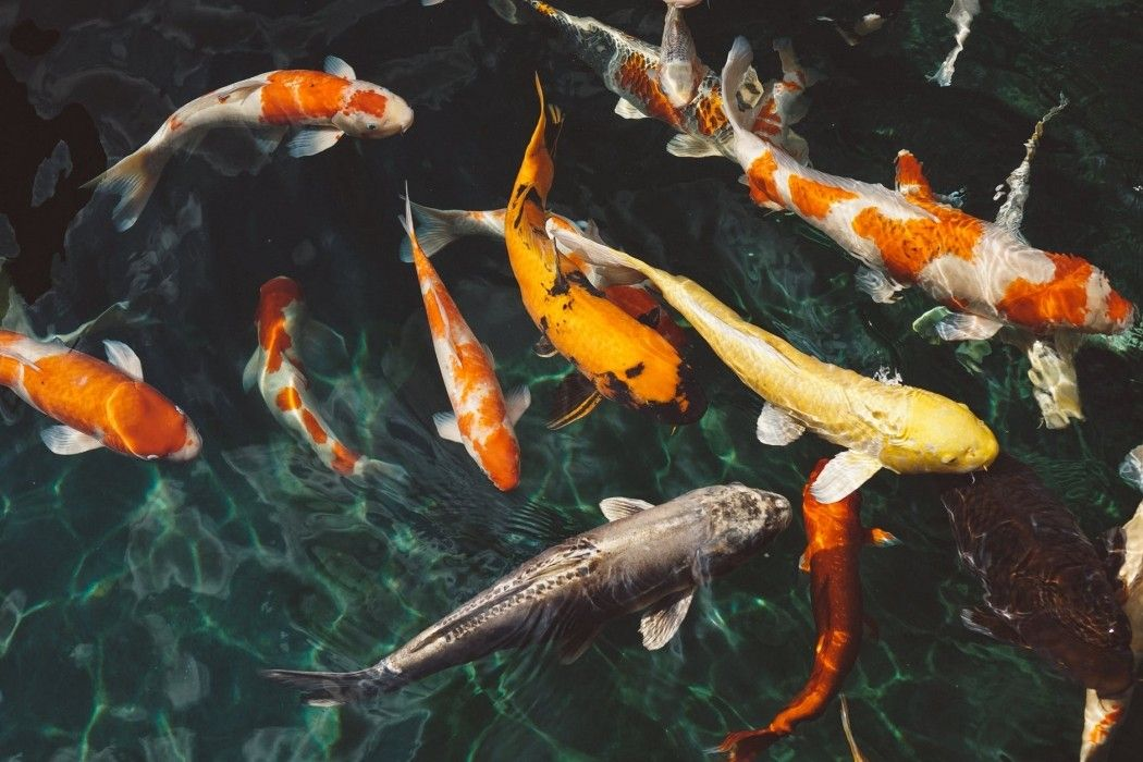 Free Actual Orange And White Koi Fish Near Yellow Hd Photo 13345 Gostock High Quality Royalty Free Stock Photos Royalt Koi Fish Salt Water Fishing Fish