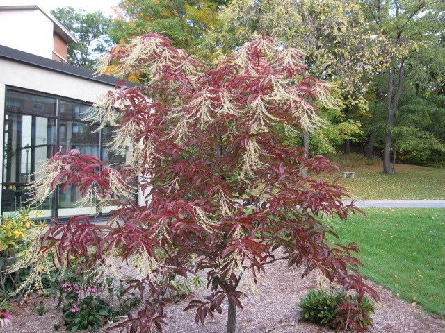 Sourwood Tree (Oxydendrum Arboreum) 2 Feet Tall