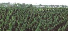Delp Christmas Tree Farm in SW Kansas