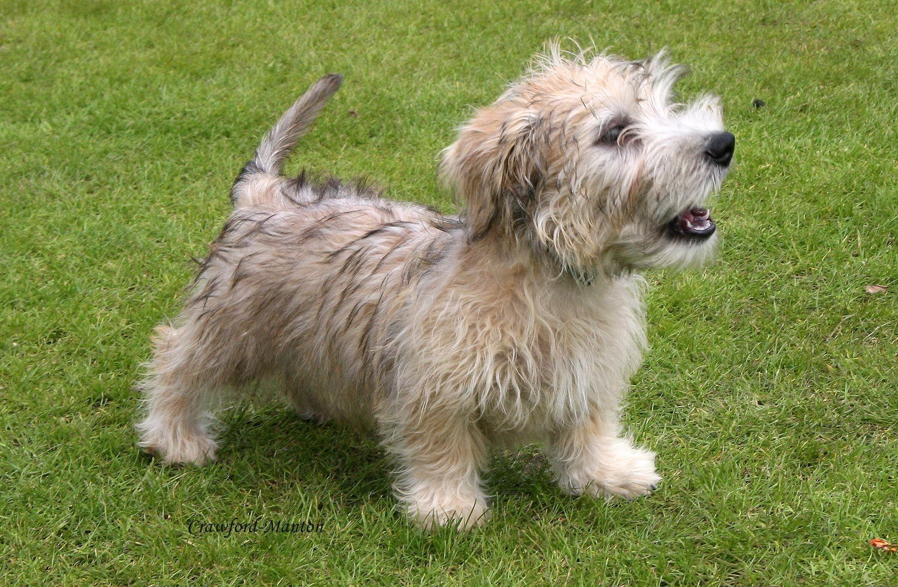 Puppies Glen Breeders of Merit Glen of imaal terrier