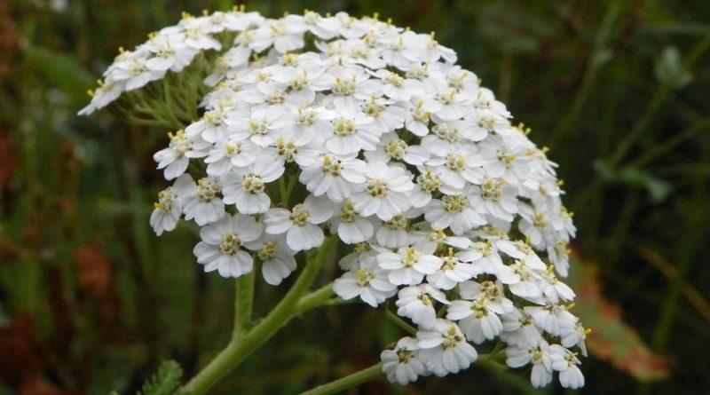 The Companion Herb Yarrow Magical Properties And Uses Magical Herbs Magical Herbs Yarrow Achillea Millefolium
