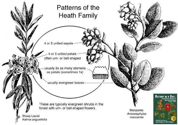 Ericaceae Heath Family Identify Plants Flowers Shrubs And Trees Identify Plant Plant Identification Plants