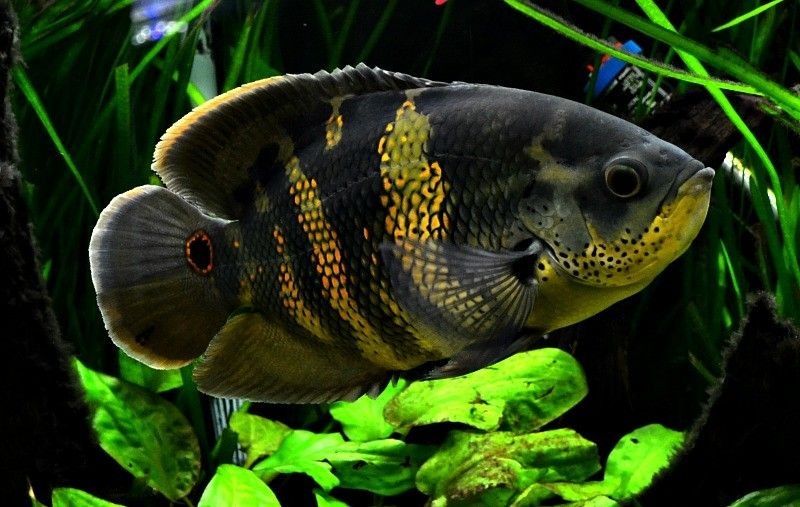 Pair of Pseudomugil sp quotRed Neonquot also known as