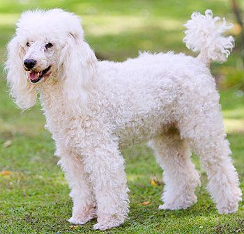Miniature Poodle Faq Frequently Asked Questions About Miniature