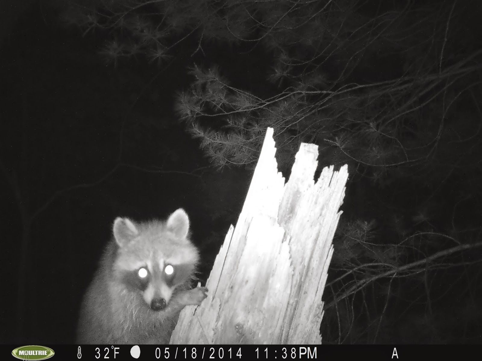 ......Trail Camera Catch of the Day......: Stump Cam V: Enough Already