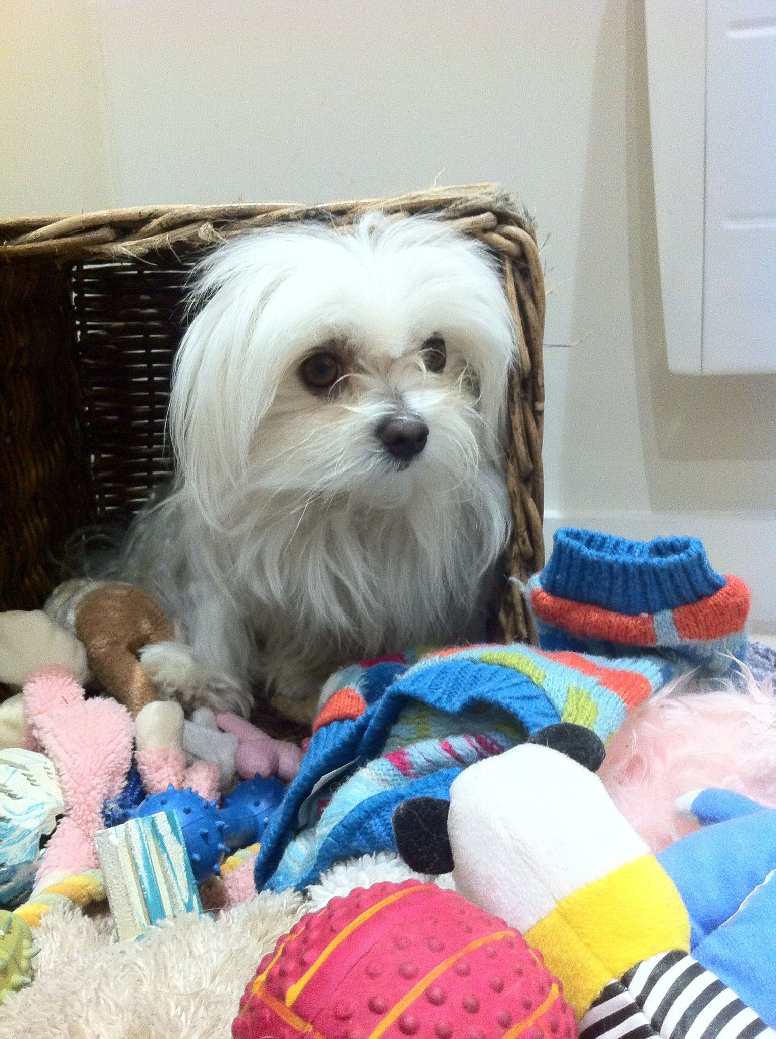 Silly Pip Teacup Puppies Maltese Maltese Puppy Dog Cat