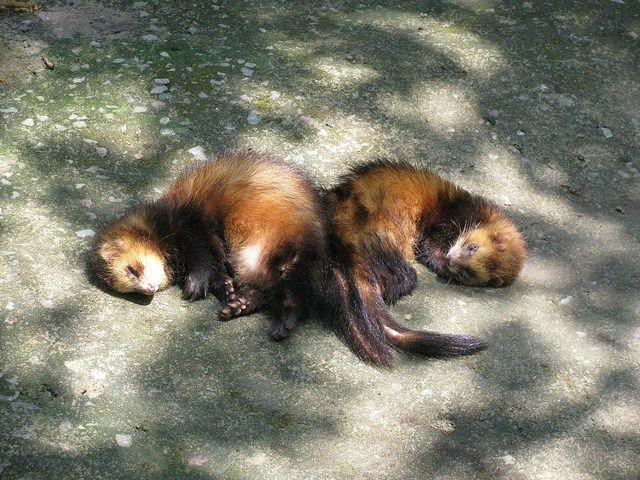 Maximizing the Life Expectancy of Ferrets Ferret, Baby