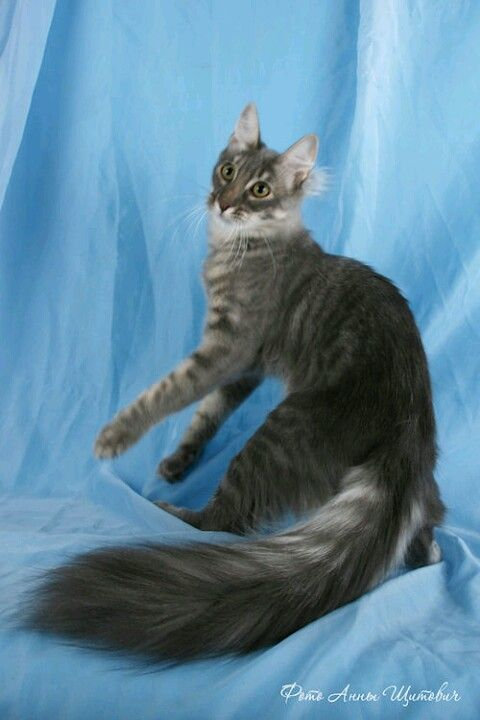 960148ee12e15d Turkish Angora